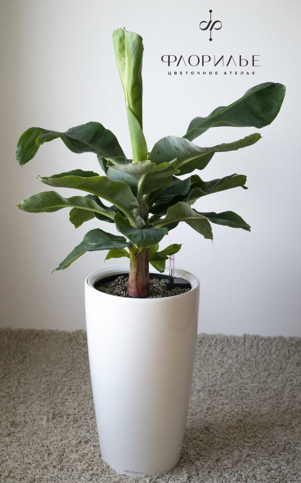 Муса. Размер M в кашпо Lechuza Rondo 32 банановое дерево, Муса