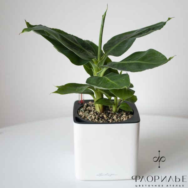 Муса. Размер S в Lechuza Glossy 14 LECHUZA CUBE Glossy 14, банановое дерево, Муса