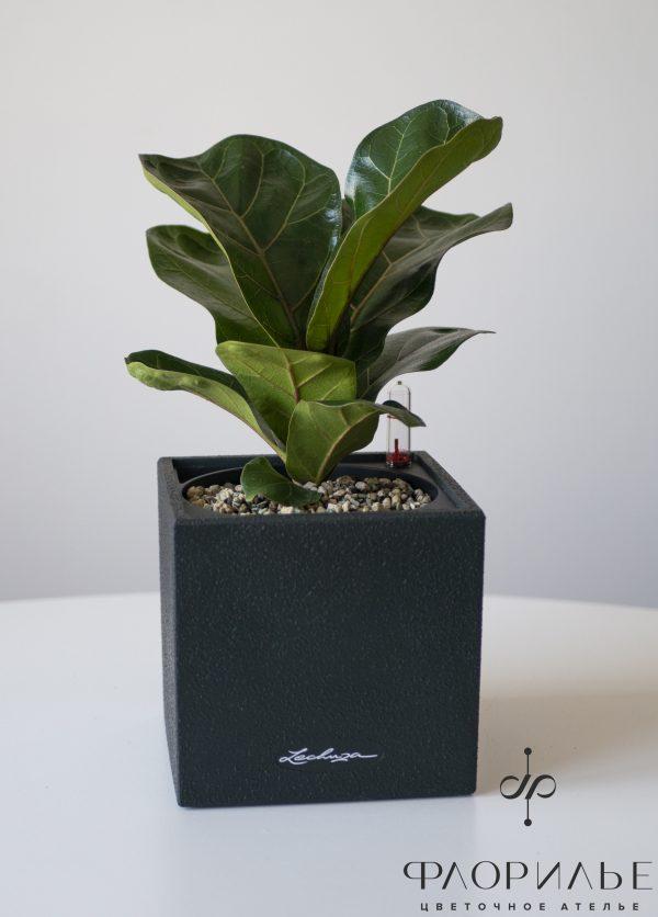 Фикус Лирата Бамбино крупные растения, фикус, Фикус Лирата