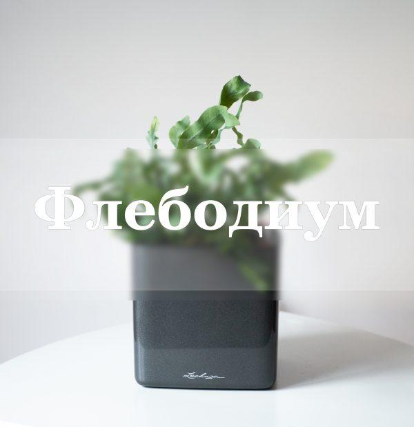 Флебодиум папоротник, флебодиум