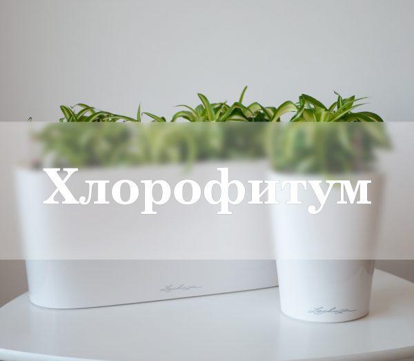 Хлорофитум lechuza, хлорофитум