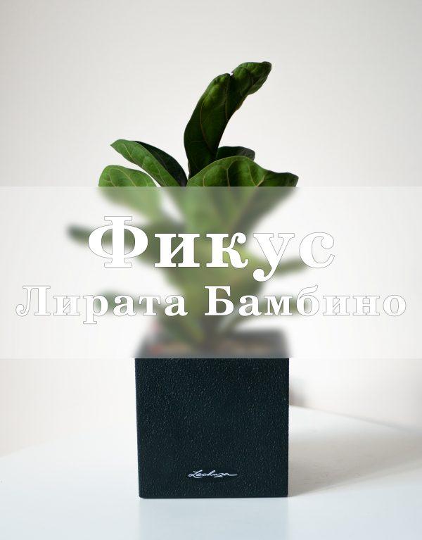 Фикус Лирата Бамбино в Lechuza CANTO 14 крупные растения, фикус, Фикус Лирата