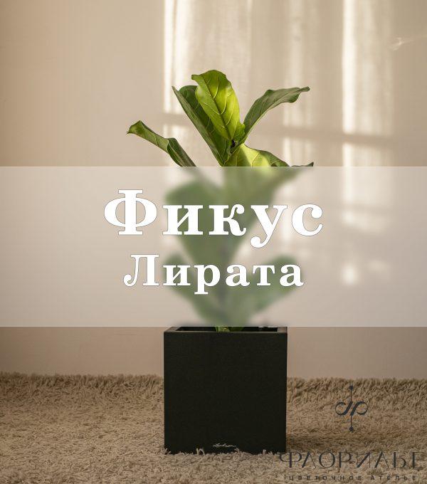 Фикус Лирата в Lechuza Canto Stone крупные растения, фикус, Фикус Лирата
