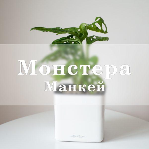 Монстера Манки  в Lechuza Cube Glossy лиана, монстера, монстера манки